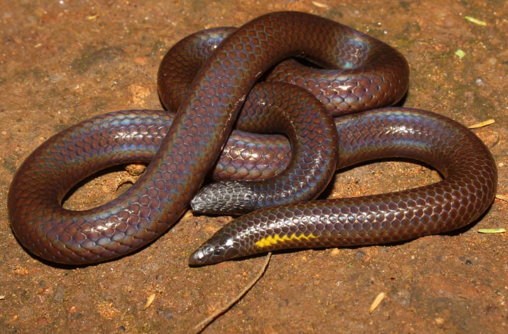 A burrowing snake (Bhupathy's shieldtail, Uropeltis bhupathyi) with poorly developed eyes