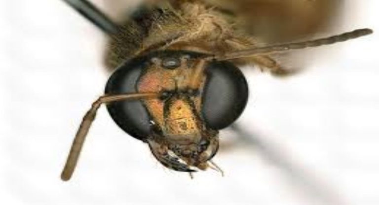 Megalopta Amoena Bees found with Two Sex in One Body